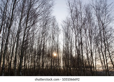 Young birch in the light of the rising sun, Dwingelderveld
