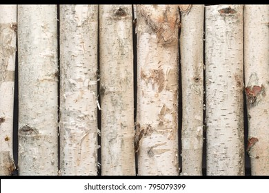 Young birch stumps, standing