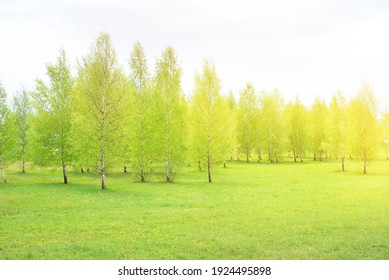 Young birch tree forest, green meadow with blooming yellow dandelion flowers. Idyllic spring rural scene, landscape. Harmony, pure nature, ecology, environmental conservation, reforestation