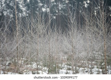 young birch trees covered with hoarfrost in forest