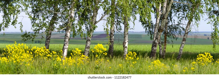 Young birch and yellow flowers, natural spring background, panoramic image