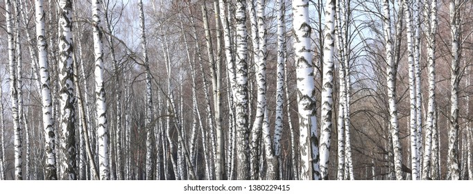 Young birches with black and white birch bark in spring in birch grove against the background of other birches