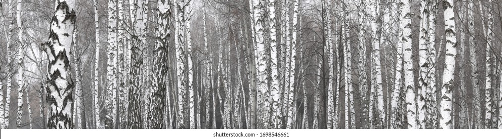 Young birches with black and white birch bark in spring in birch grove against background of other birches