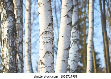 Young birches in a forest