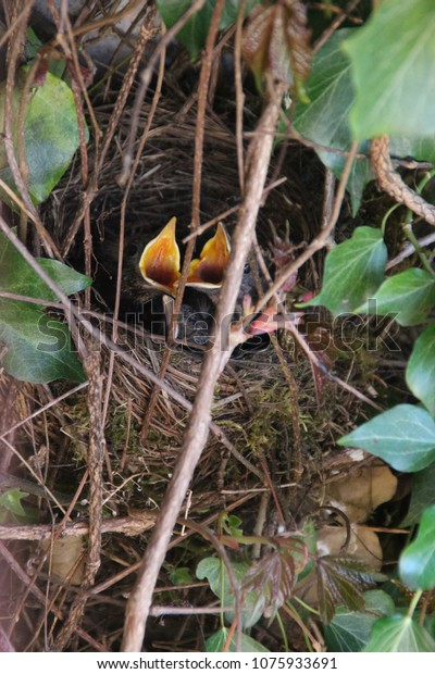 Young birds in a nest