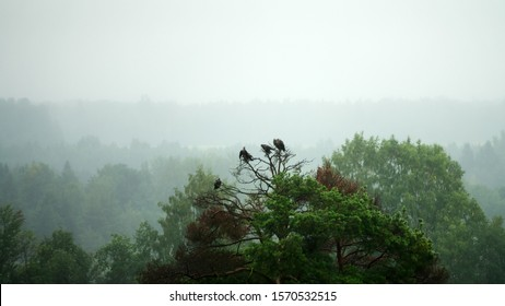 Young birds of prey (perhaps Common or Honey Buzzards) stay in group some time after leaving nest. It is very damp and the birds are drying their wet wings. Misty forest