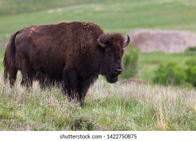 A young bison or buffalo standing on a small hilltop looking at visitors in Custer State Park, South Dakota.