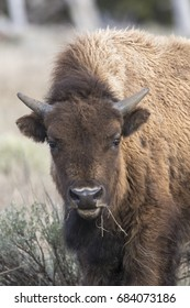 Young bison eating grass , portrait in park