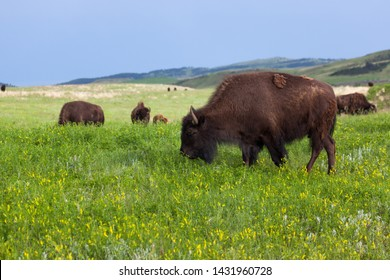 A young bison grazes on spring grass and wildflowers while heard mates graze in the distance on the rolling hills of Custer State Park, South Dakota.