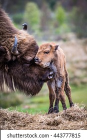 A young bison is groomed by its mother