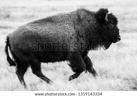 A young bison trots