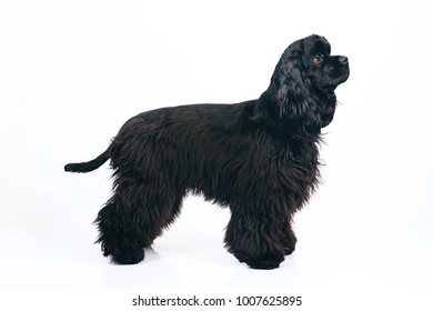 Young black American Cocker Spaniel dog staying indoors on a white background