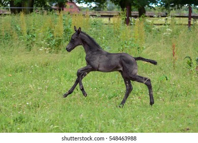 a young black baby foal is galloping on a green field