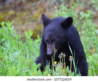 A young black bear cub enjoys a breakfast of fresh green dandelions on a rainy spring morning in the Canadian Rockies near Lake Louise in Banff National Park, Alberta, Canada