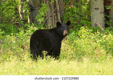 A young black bear (Ursus americanus) in it's natural mixed boreal habitat
