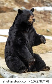 Young Black Bear waits for treats at a park in Quebec, Canada