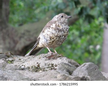 Young black bird sitting on stone wall.