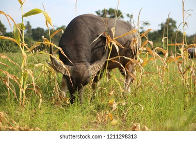 Young black buffalo bull with big ears and sharp horns, a ring and rope in his nose stands on white hooves in a bright green grass field with dry weeds in the rural side of Koh Lanta island, Thailand