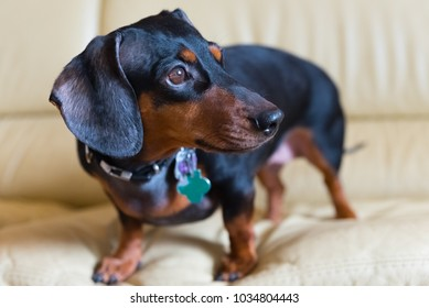 Young black dachshund on a white leather sofa