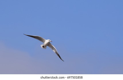 Young black headed gull (juvenile plumage)
