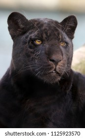 Young black jaguar