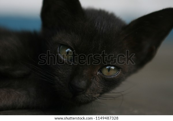 Young black kitten is chill out on Grey ground