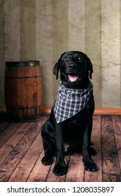 Young black labrador breed obedient attentive lab puppy dog waiting