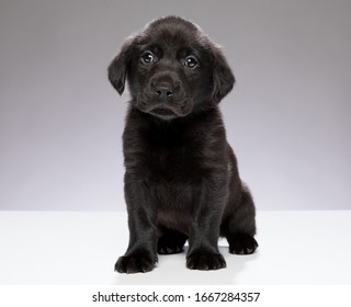 Young black Labrador puppy looking straight on to camera with plain grey  background