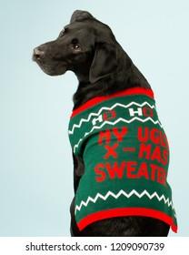 Young Black Labrador retriever dog posing while wearing a tacky Christmas sweater