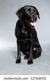 Young black labrador retriever dog. Studio shot.
