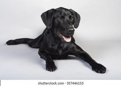 Young Black Labrador Retriever Dog