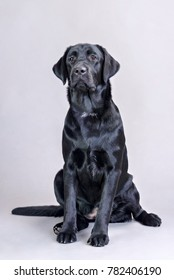 young black labrador sitting in studio on gray background