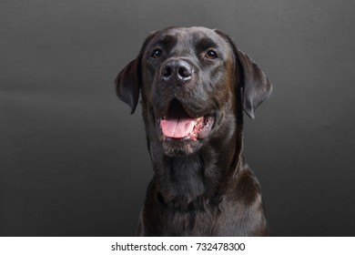 Young black labrador smiling with tongue out on black background