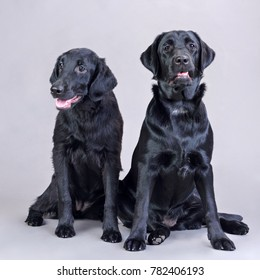 young black labradors sitting in studio on gray background with open mouth