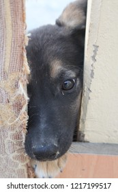Young black and tan crossbreed saluki and German Shepherd puppy looking through a fence