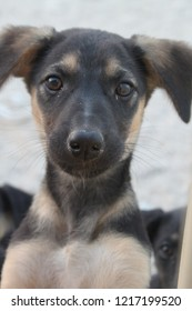 Young black and tan crossbreed saluki and German Shepherd puppy