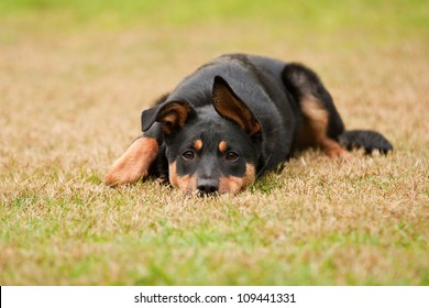 Kelpie Puppy Images, Stock Photos & Vectors | Shutterstock