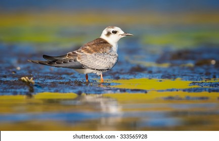 The young Black Tern