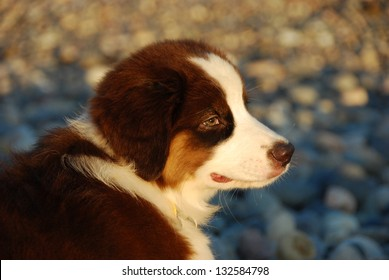 Young Black Tricolor Puppy at the Beach