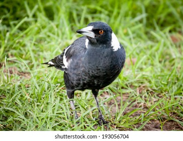 Young black and white Australian magpie (Cracticus tibicen) walking on green grass and looking at the camera
