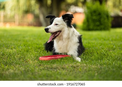 Young black and white border collie sitting on grass with frisbee