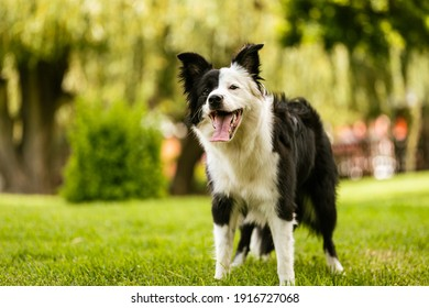 Young black and white border collie standing on grass on a bright summer day