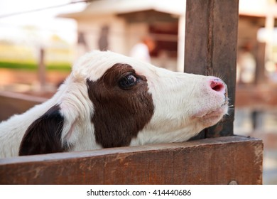 Young black and white calf.