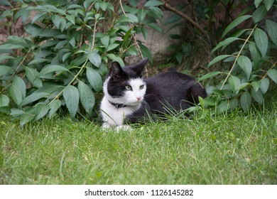 Young, black and white cat with a black collar lying on grass in a garden