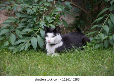 Young, black and white cat with a black collar lying on grass in a garden, watching something