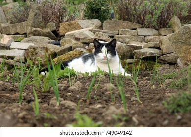 Young black and white cat helps to grow an organic vegetable garden.