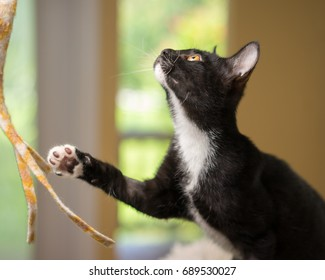 Young black and white domestic short medium hair kitten cat feline with yellow eyes playing with paw out ready and curious