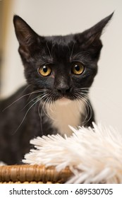 Young black and white domestic short medium hair kitten cat feline with yellow eyes making eye contact and looking sad alone afraid worried uncertain