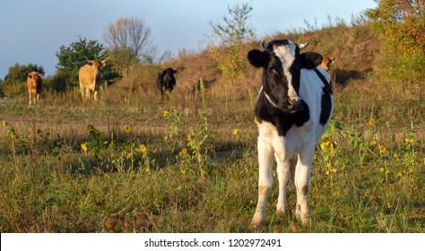 young, black and white heifer in the pasture
