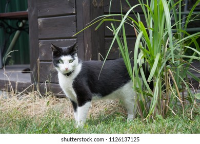 Young, black and white kitten with a black collar standing in a garden in front of a shed